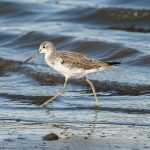 Common Greenshank.